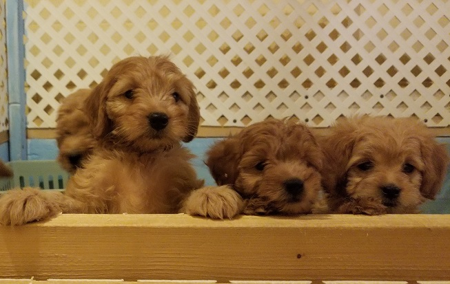 F1b Mini Goldendoodle Pups Available